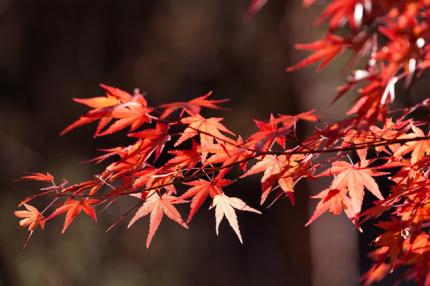 秋(紅葉)
