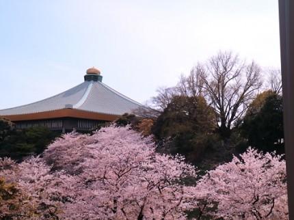 武道館さくら,桜